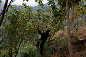 India - Sikkim - Farmer Azing Lepcha, 57, collecting guava fruits from a tree in his farm.<br /> <br /> In 2003, Azing inherited 5 acres of family farmland. The terraced land had been covered in maize monoculture since the 1970s, and the constant application of urea - a common and inexpensive nitrogen fertiliser - for more than 25 years had further depleted the already poor, arid soil. <br /> <br /> In 2004 Azing started converting the land into a fruit farm, planting its hilly slopes with pineapples, guavas, bananas, mangoes, papayas and jackfruits. The beginnings weren't promising. Azing didn't give up and decided to diversify his activities by producing homemade honey and using the fruit surplus to brew non-alcoholic wines. The idea worked, attracting a constant trickle of visitors. Azing opened a home stay to host them within the farm, combining organic farming and sustainable tourism in a virtuous circle. Nowadays the farm welcomes more than 300 Indian and international visitors every month, and his fruit, veg and eggs reach the best 5-star-hotel in Gangtok.