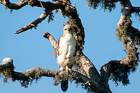 Changeable hawk-eagle or crested hawk-eagle (Nisaetus cirrhatus) is a bird of prey species of the family Accipitridae. It was formerly placed in the genus Spizaetus, but studies pointed to the group being paraphyletic resulting in the Old World members being placed in Nisaetus (Hodgson, 1836) and separated from the New World species. Changeable hawk-eagles breed in the Indian subcontinent, mainly in India and Sri Lanka, and from the southeast rim of the Himalaya across Southeast Asia to Indonesia and the Philippines. This is a bird occurring singly (outside mating season) in open woodland, although island forms prefer a higher tree density. It builds a stick nest in a tree and lays a single egg. Bundala National Park - Sri Lanka.