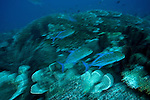 Schooling bluefin trevally (Caranx melampygus))