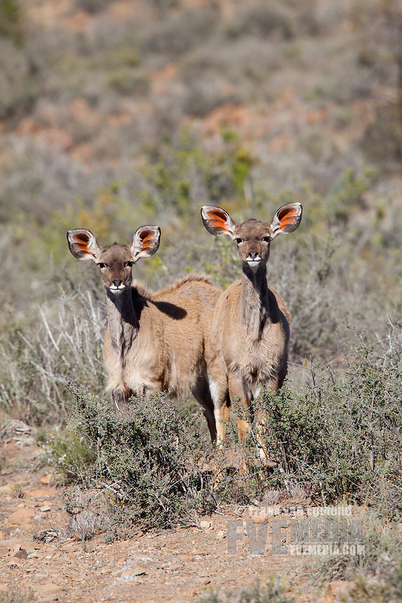 Greater Kudu, Karoo National Park