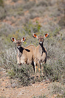 Greater Kudu, Karoo National Park