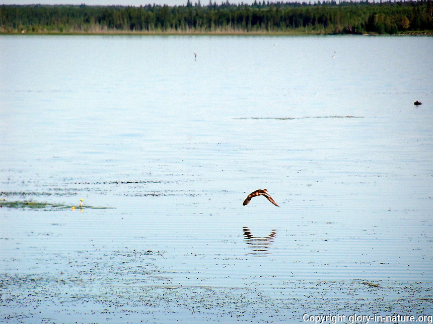All ducks, including this mallard, love to fly low over the water.