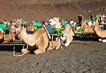 Camels in Parque Nacional de Timanfaya, Echadero de los Camellos, national park, Lanzarote, Canary Islands, Spain