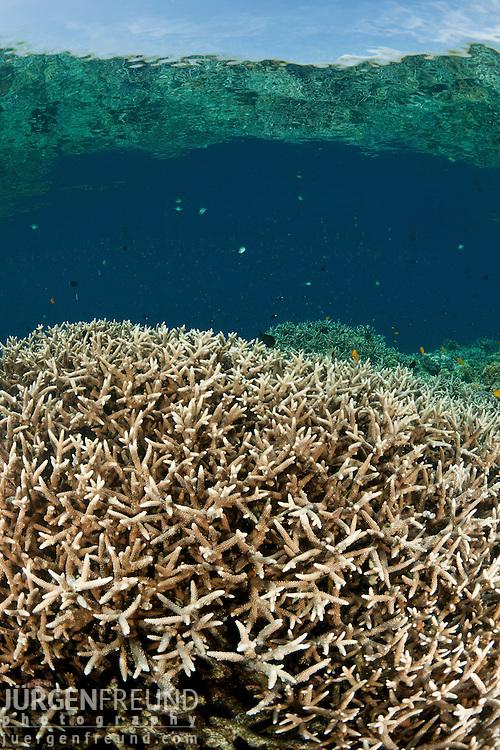 Abundant branching )Acropora sp.) corals.