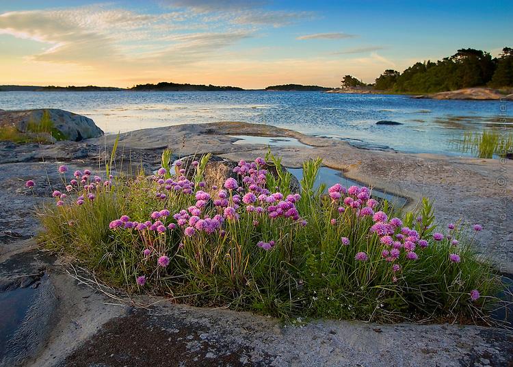 Blommande gräslök på Brunskär i Stockholms skärgård. / Stockholm archipelago Sweden