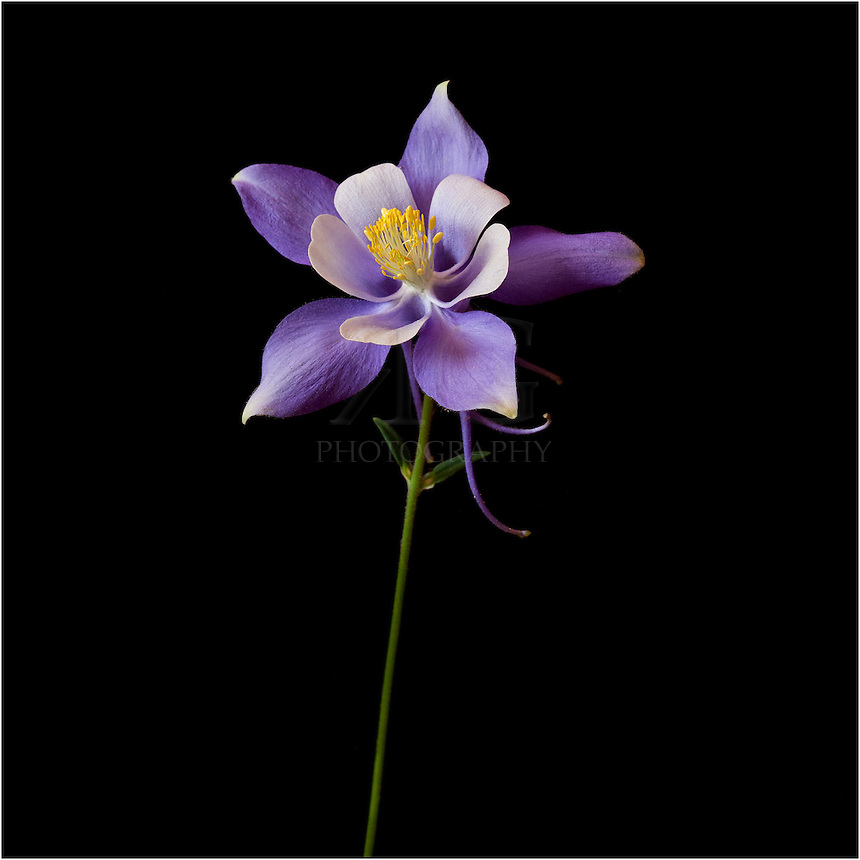 The Columbine is Colorado's state flower. Found in many colors it is most commonly know for its blues and purples, and often seen gracing rocky outcrops in the Colorado Rocky Mountains.