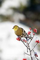 01640-155.15 American Goldfinch (Carduelis tristis) in Common Winterberry (Ilex verticillata) in winter, Marion Co.  IL