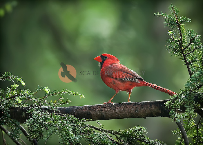 Male Northern Cardinal perched, in profile in hemlock tree