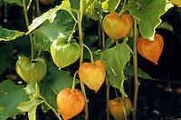 Blasenkirsche, Judenkirsche, Lampionblume, Frucht, Früchte, Physalis alkekengi, Strawberry Tomato, Winter Cherry