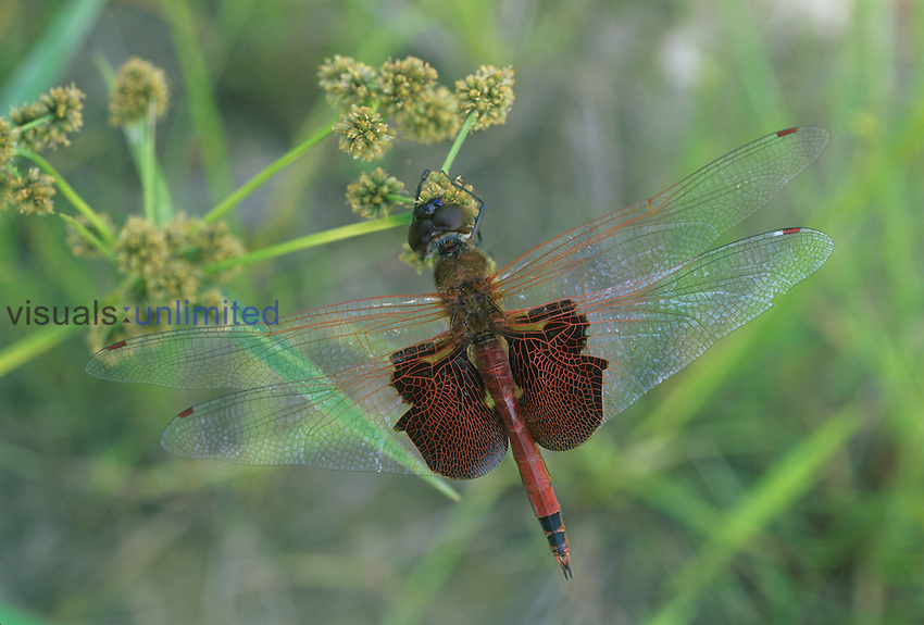 Carolina Saddlebags Dragonfly ,Tramea carolina,, Ohio, USA.