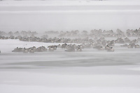 Canadian Geese huddle together near a small patch of open water on a subzero morning near Denver, Colorado.