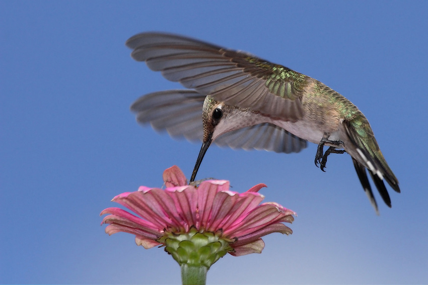 Black-chinned hummingbird (Archilochus alexandri) with spider just visible at flower top.