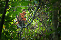 Maroon langur / Red leaf monkey (Presbytis rubicunda), Danum Valley, Sabah, Borneo, Malaysia.