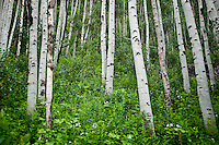 Aspen trees or Salicaceae Populus near the Maroon Bells in Aspen, Colorado, July 12, 2011...Photo by Matt Nager