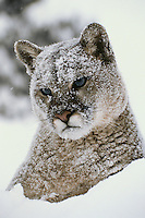 Mountain lion, cougar, or puma (Felis concolor) in winter.  Western U.S.