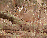 Deer seen on a walk along the Meadow Paths Trail in Esopus Bend Nature Preserve in Saugerties, NY, Monday, February 19, 2018. Photo by Jim Peppler. Copyright/Jim Peppler/2018.