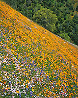 Sierra National Forest, CA<br /> Lupine, California poppies and baby blue eyes blooming on a sloping hillside with oak trees on the Moss Creek Trail near El Portal
