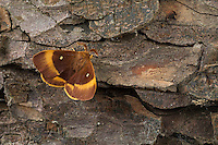 Eichenspinner, Quittenvogel, Männchen, Lasiocampa quercus, Lasiocampa scopolii, oak eggar, male, Le Bombyx du chêne, Chenille, Glucken, Lasiocampidae