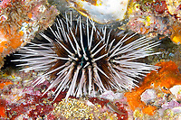 Sea urchin Echinothrix calamaris, Richelieu Rock, Andaman Sea, Thailand, Indian Ocean, Asia