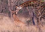 Masai giraffe (giraffa camelopardalis tippelskirchi) with Baby