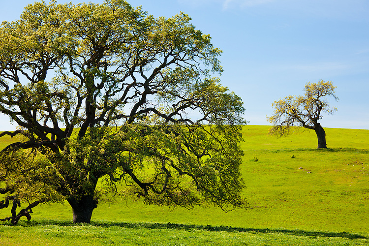 Two very different oak trees on a green hillside in spring. Santa Ynez Valley, Santa Barbara County, CA.