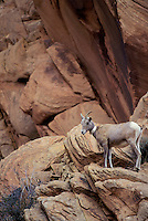 DESERT BIGHORN SHEEP/Nelson's Bighorn Sheep..Ewe wears a radio collar for a wildlife study project. This subspecies of the Rocky Mountain Bighorn Sheep has adapted to hot, dry climates by developing longer legs, lighter coats and smaller bodies..Autumn. Arches National Park, Utah. U.S.A..(Ovis canadensis nelsoni)