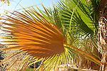 Palms at Cottonwood Springs.  Joshua Tree National Park, CA