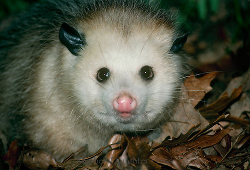 Juvenile possum watches the photographer closely face to face