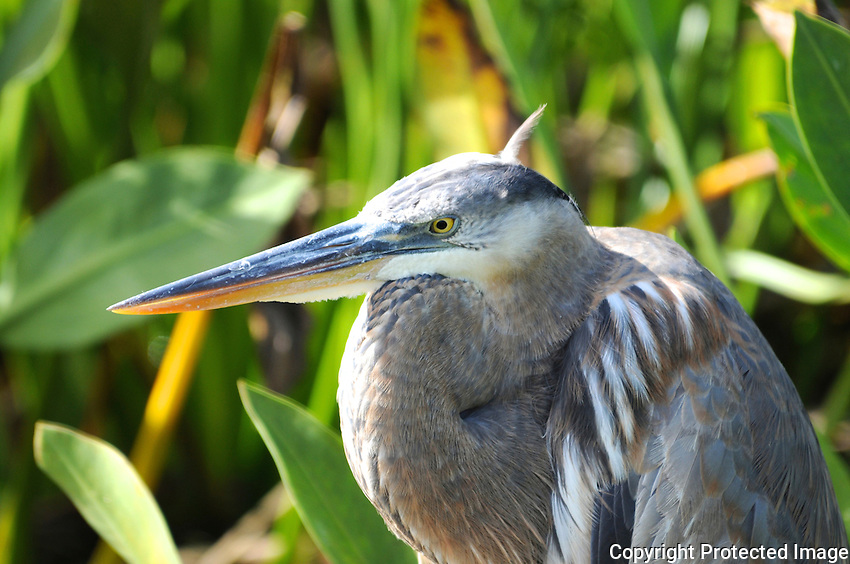Great Blue Heron photographed at Wakodahatchee Wetlands, Delray Beach, Florida.