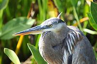 Great Blue Heron photographed at Wakodahatchee Wetlands, Delray Beach, Florida.