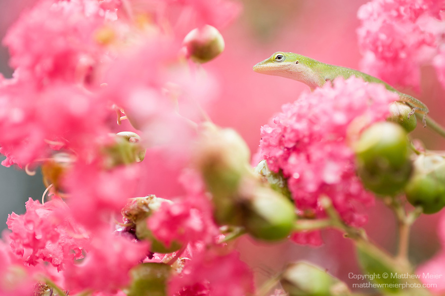 Horshoe Bay, Lake LBJ, Texas; Green Anole (Anolis carolinensis), green colored lizard in a pink flowering Crape myrtle (Lagerstroemia sp.) shrub/tree