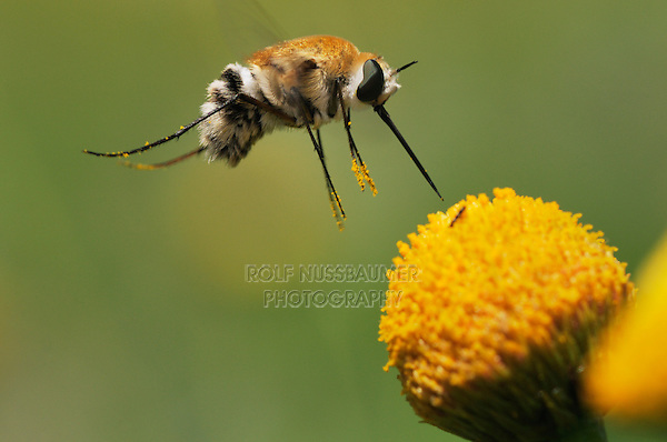 Large Bee Fly (Bombylius sp.), adult in flight feeding on Saladillo (Varilla texana), Laredo, Webb County, Texas, USA
