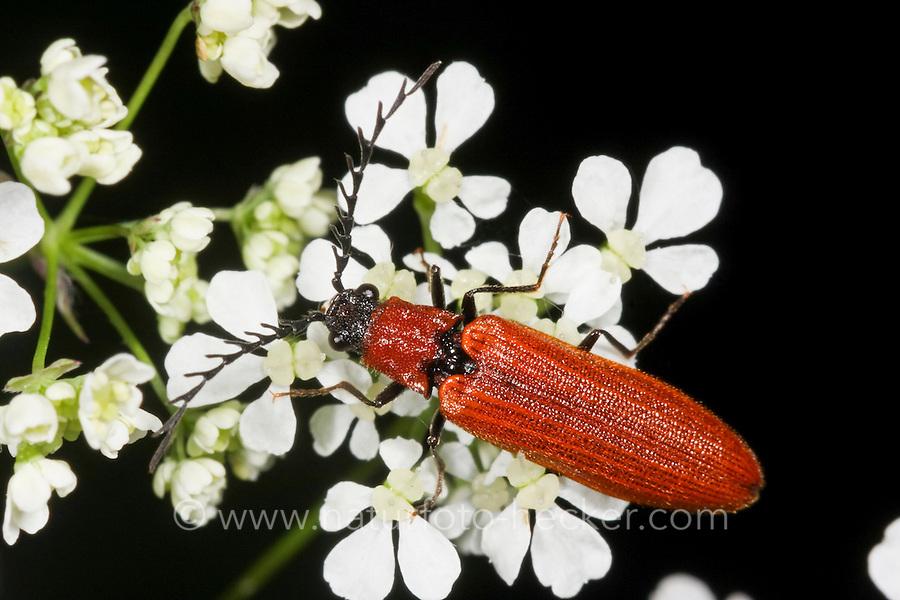 Rotflügeliger Hakenhals-Schnellkäfer, Rotflügliger Hakenhals-Schnellkäfer, Zahnhalsiger Schnellkäfer, Denticollis rubens, Click beetle, Schnellkäfer, Elateridae, Click beetles