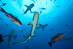 Whitetip reef shark (Triaenodon obesus) and Grey reef sharks (Carcharhinus amblyrhynchos)