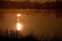 Geese swimming at sunrise on Vian Lake, north of Vain Oklahoma.