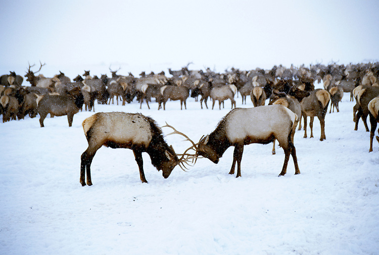 Wyoming: Jackson Hole, The National Elk Herd at National Elk Refuge, wyjack103  .  Photo copyright Lee Foster, www.fostertravel.com, 510/549-2202, lee@fostertravel.com