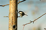 Black-capped chickadee on backyard feeder.