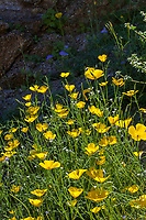 Eschscholzia parishii, Parish's Poppy yellow flowering wildflower;California native plant Anza Borrego State Park