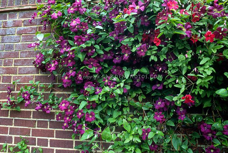 clematis viticella etoile violette plant flower. Black Bedroom Furniture Sets. Home Design Ideas
