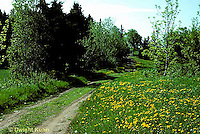 DN01-027a  Dandelion  - flowers along road in spring - Taraxacum officinale