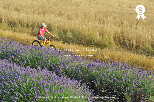 Girl biking among lavender and wheat fields (Licence this image exclusively with Getty: http://www.gettyimages.com/detail/91934865 )