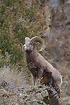 Bighorn Sheep ram on rocky hill in Montana