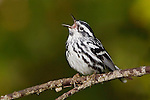 A Black-and-White Warbler (Mniotilta varia) vocalizing on a branch, Ontario, Canada.