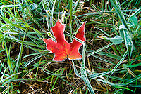 Red maple leaf in fall, Brandon, Vermont