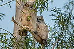 Blue Mountains, Oregon, great horned owlets