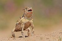 Texas Horned Lizard (Phrynosoma cornutum), adult standing up, Laredo, Webb County, South Texas, USA