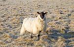 Scotch mule sheep grazing frosty Windmill Hill, a Neolithic causewayed enclosure, near Avebury, Wiltshire, England, UK
