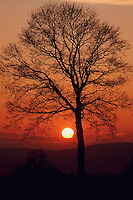 Linden tree (Tilia sp.),bare tree at sunset in winter, Switzerland