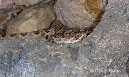 0421-1001  Santa Catalina Island Rattlesnake, Endangered Species, Crotalus catalinensis  © David Kuhn/Dwight Kuhn Photography.