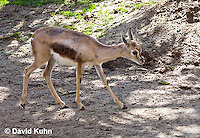 0602-1103  Speke's Gazelle, Smallest of Gazelle Species, Gazella spekei  © David Kuhn/Dwight Kuhn Photography